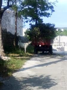 A cow enjoying lunch
